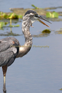 Poor Heron- Swallowed something during a hurricane 3 years ago & cut her/his throat...tounge hanging out of neck...