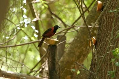 Crimson-collared Grosbeak Rio Grande Valley TX 423_2372