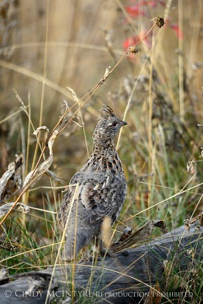 Ruffed Grouse, Grand Teton NP (6)