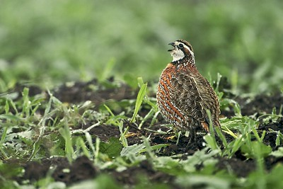 "Northern Bobwhite call their own name; ""Bob-White!...Bob-White!"" [February; Sick Dog Ranch near Alice, Texas]"