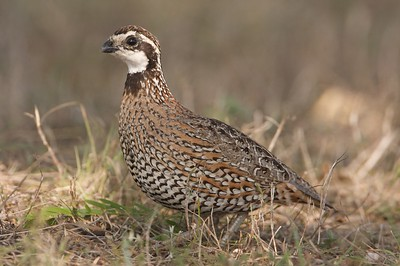 Northern Bobwhite are a type of quail [April; Sick Dog Ranch near Alice, Texas]