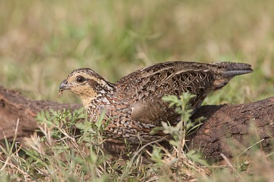 Female Northern Bobwhite are tan where the male is white [February; Sick Dog Ranch near Alice, Texas]