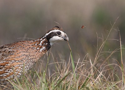 This Northern Bobwhite just missed nabbing a small insect [February; Sick Dog Ranch near Alice, Texas]