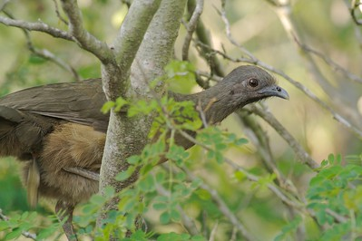 Chachalaca [April; Krenmueller Farms, Lower Rio Grande Valley, Texas]