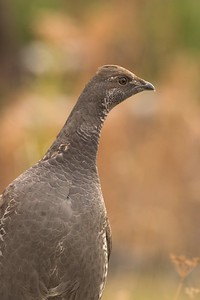 "Formerly called ""Blue Grouse,"" the Rocky Mountain population is now known as Dusky Grouse. The Pacific coast population is known as Sooty Grouse [September; Yellowstone National Park, Wyoming]"