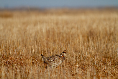 Greater Prairie-Chicken lek blind hide Tympanuchus Wildlife Management Area WMA Polk County MN -5246