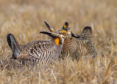Greater Prairie-Chicken lek blind hide Tympanuchus Wildlife Management Area WMA Polk County MN -5367