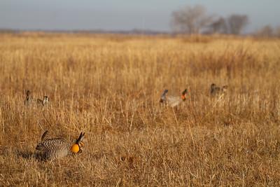 Greater Prairie-Chicken lek blind hide Tympanuchus Wildlife Management Area WMA Polk County MN -5166