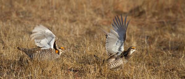 Greater Prairie-Chicken lek blind hide Tympanuchus Wildlife Management Area WMA Polk County MN -5177