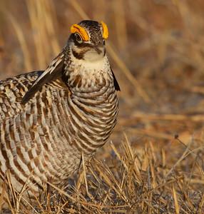 Greater Prairie-Chicken lek blind hide Tympanuchus Wildlife Management Area WMA Polk County MN -5089