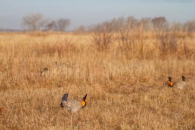 Greater Prairie-Chicken lek blind hide Tympanuchus Wildlife Management Area WMA Polk County MN -5172