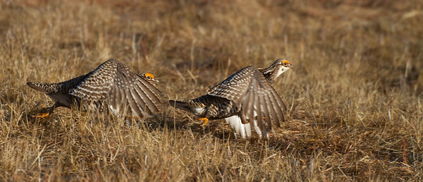 Greater Prairie-Chicken lek blind hide Tympanuchus Wildlife Management Area WMA Polk County MN -5178