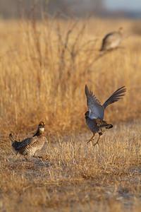 Greater Prairie-Chicken lek blind hide Tympanuchus Wildlife Management Area WMA Polk County MN -5079