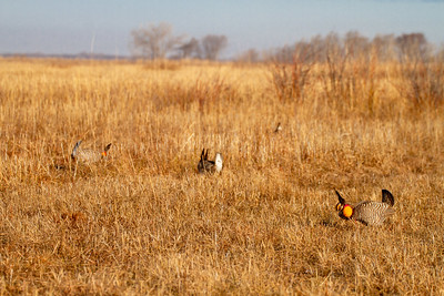 Greater Prairie-Chicken lek blind hide Tympanuchus Wildlife Management Area WMA Polk County MN -5174