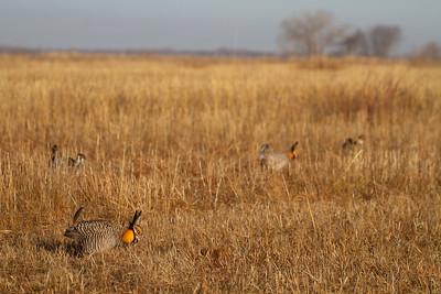 Greater Prairie-Chicken lek blind hide Tympanuchus Wildlife Management Area WMA Polk County MN -5165