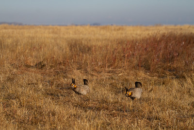 Greater Prairie-Chicken lek blind hide Tympanuchus Wildlife Management Area WMA Polk County MN -5157