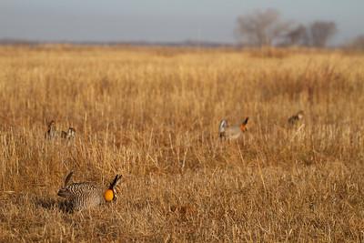 Greater Prairie-Chicken lek blind hide Tympanuchus Wildlife Management Area WMA Polk County MN -5164