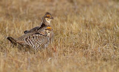 Greater Prairie-Chicken lek blind hide Tympanuchus Wildlife Management Area WMA Polk County MN -5348
