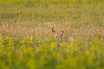 Greater Prairie Chicken Felton Prairie Clay County MN -6301