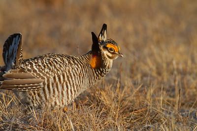 Greater Prairie-Chicken lek blind hide Tympanuchus Wildlife Management Area WMA Polk County MN -5091