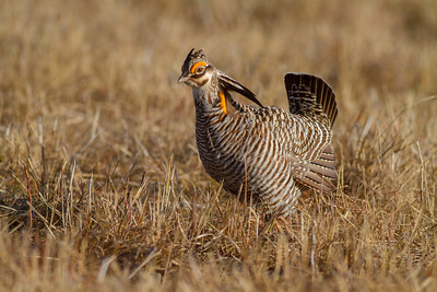 Greater Prairie-Chicken lek blind hide Tympanuchus Wildlife Management Area WMA Polk County MN -5214