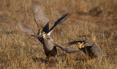 Greater Prairie-Chicken lek blind hide Tympanuchus Wildlife Management Area WMA Polk County MN -5181