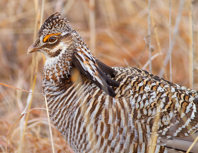 Greater Prairie-Chicken lek blind hide Tympanuchus Wildlife Management Area WMA Polk County MN -5266