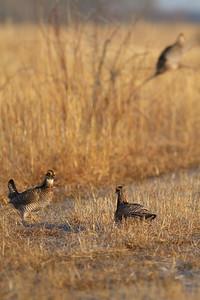 Greater Prairie-Chicken lek blind hide Tympanuchus Wildlife Management Area WMA Polk County MN -5080