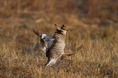 Greater Prairie-Chicken lek blind hide Tympanuchus Wildlife Management Area WMA Polk County MN -5129
