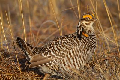 Greater Prairie-Chicken lek blind hide Tympanuchus Wildlife Management Area WMA Polk County MN -5088