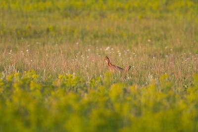 Greater Prairie Chicken Felton Prairie Clay County MN -6309