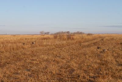 Greater Prairie-Chicken lek blind hide Tympanuchus Wildlife Management Area WMA Polk County MN -5139