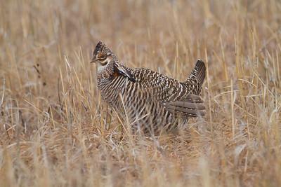 Greater Prairie-Chicken lek blind hide Tympanuchus Wildlife Management Area WMA Polk County MN -5261