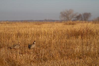 Greater Prairie-Chicken lek blind hide Tympanuchus Wildlife Management Area WMA Polk County MN -5140