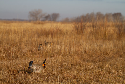 Greater Prairie-Chicken lek blind hide Tympanuchus Wildlife Management Area WMA Polk County MN -5169