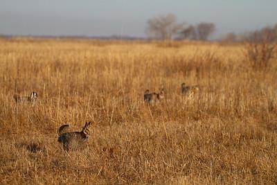 Greater Prairie-Chicken lek blind hide Tympanuchus Wildlife Management Area WMA Polk County MN -5167