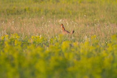 Greater Prairie Chicken Felton Prairie Clay County MN -6305