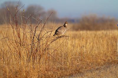 Greater Prairie-Chicken lek blind hide Tympanuchus Wildlife Management Area WMA Polk County MN -5082