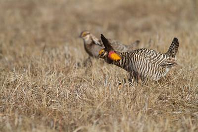 Greater Prairie-Chicken lek blind hide Tympanuchus Wildlife Management Area WMA Polk County MN -5376
