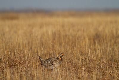 Greater Prairie-Chicken lek blind hide Tympanuchus Wildlife Management Area WMA Polk County MN -5245