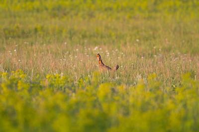 Greater Prairie Chicken Felton Prairie Clay County MN -6307