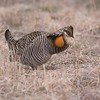 The Greater Prairie Chicken is making an impressive comeback in northwest Minnesota. This male met me at his lek well before sunrise. Two other males performed as three females watched from the tall grass [April 29; Glacial Ridge National Wildlife Refuge, Polk County, Minnesota]