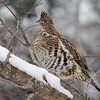 Ruffed Grouse survive the cold winters in the north by diving into deep powder snow and burrowing at night. Under two feet of powder it may be 25 degrees...Possibly 60 degrees warmer than the air temperature! [December; Duluth, Minnesota]
