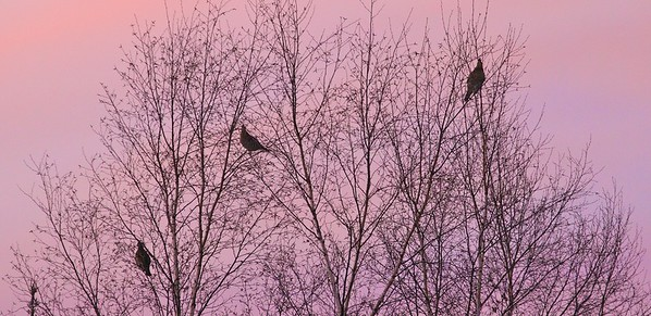 Ruffed Grouse feed on birch catkins at dusk [January; near Floodwood, St Louis County, Minnesota]