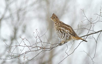 A reddish Ruffed Grouse carefully makes its way out a birch branch to feed on buds [January; Blueberry Hills, Deer River, Minnesota]