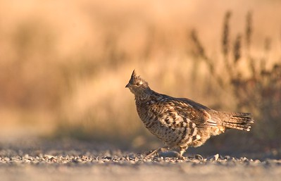 Ruffed Grouse [October; Lima Mountain Road, Superior National Forest, Cook County, Minnesota]