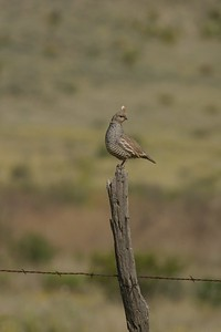 Often hidden in the scrub of dry brushlands, this Scaled Quail has decided to declare his territory from the highest perch around—an old fence post [April; Big Bend National Park, Texas]