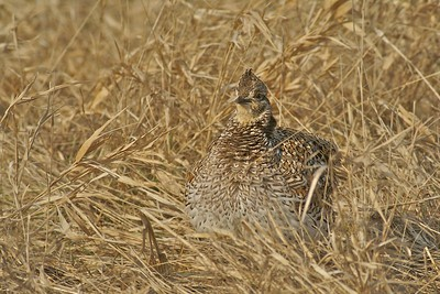 Sharp-tailed Grouse on its breeding lek [April; Carlton County, Minnesota]