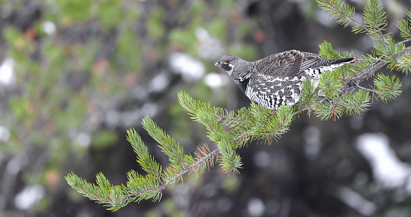 Spruce Grouse in Jack Pine along Sawbill Trail Superior National Forest Cook County MN IMG_7785-2