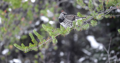 Spruce Grouse in Jack Pine along Sawbill Trail Superior National Forest Cook County MN IMG_7785-5